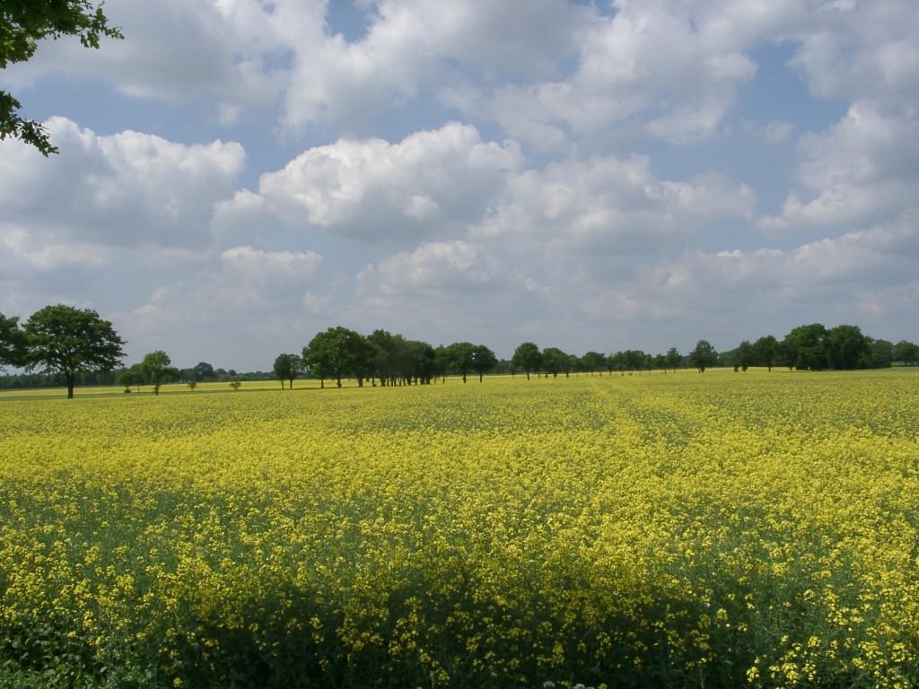 Die Raosfelder waren nich schln im Gegensatz zu den Maisfeldern.
